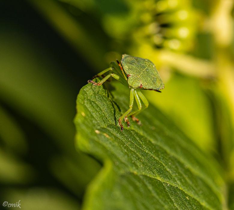 Groene Schildwants nimf - Dit is de nimf in zomerkleur. Grootte tussen de 12 en 14 mm.