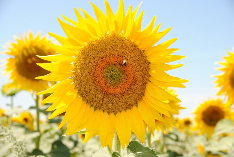 A la France - Deze foto is genomen in Frankrijk, in de buurt van Uzès. Daar zijn honderden velden vol zonnebloemen en lavendel.