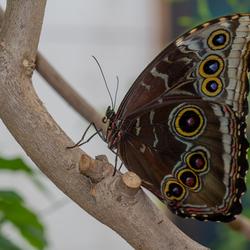 Vlinder Passieflorahoeve