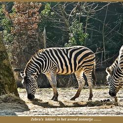 Zebra's  in een namiddag zonnetje .....
