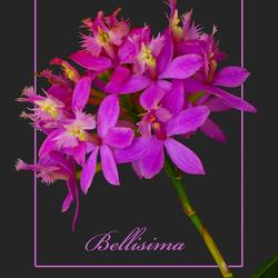 Epidendrum bellisima