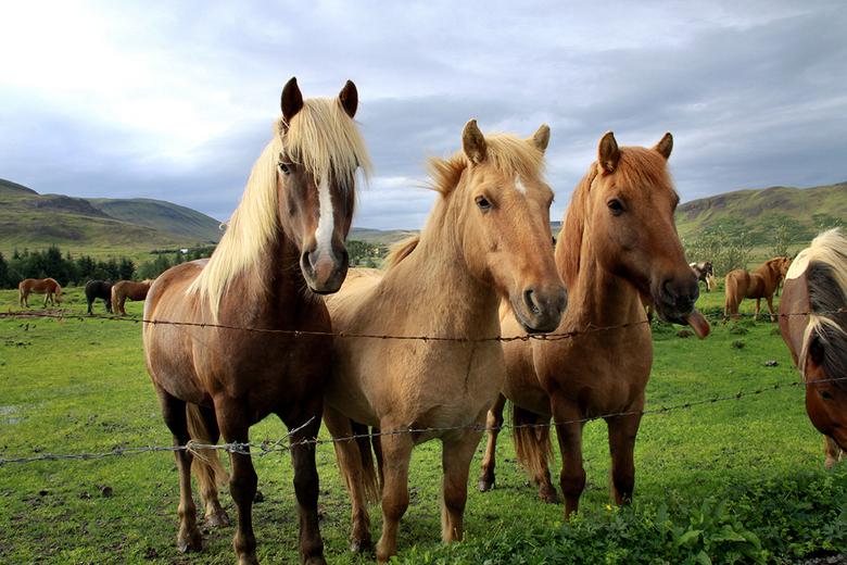 IJsland_lilian_1520 - IJslandse paardjes