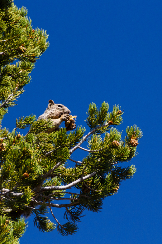 Mmm lekker... - Deze eekhoorn zat heerlijk boven in een boom aan zijn dennenappeltjes te knabbelen. Zo te zien heeft hij al een aardig voorraadje in z
