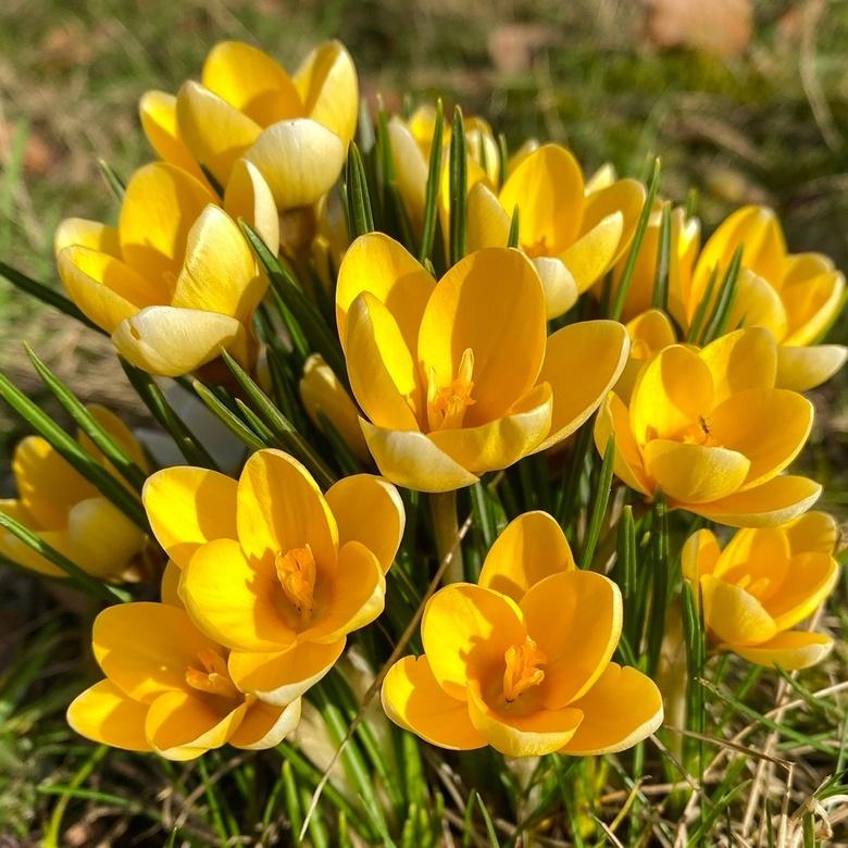 Vrolijke krokussen - De lente komt je tegemoet