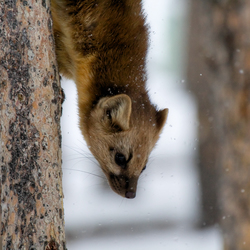 Boommarter (Pine Marten) going down