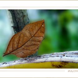 Bladvlinder (Kalimma inachus)