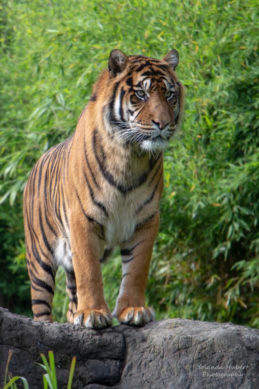 sumatraanse tijger Blijdorp - Mooie dieren deze tijger, heel blij mee. Hij ging er zo voor staan.
