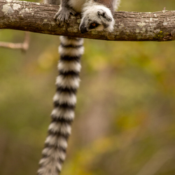 Nieuwsgierige ringstaartmaki op Madagaskar.