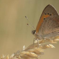Lycaena Phlaeas (Kleine Vuurvlinder)