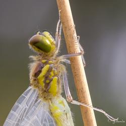 Heidelibel net na het uitsluipen