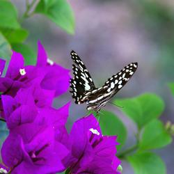 vlinder_sabisands.jpg
