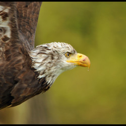 Zeearend (american bolt eagle)