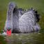 Zwarte zwaan foerageren