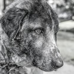 mijn hond apollo,kruising kangal