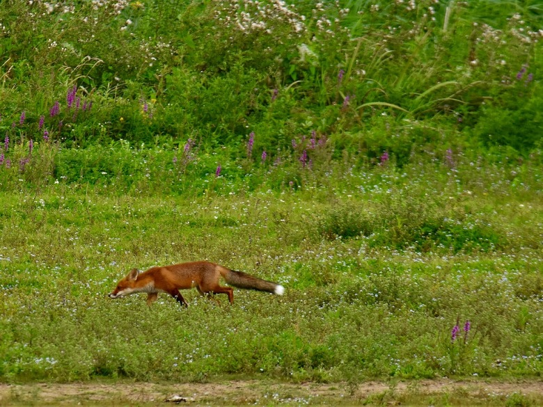Struinende vos - Speurende vos in de uiterwaarden, het leuke van de foto vind ik het totaalbeeld wat de vos in de ruimte weergeeft.