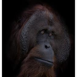 Dark Animal Portraits: Amos