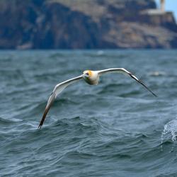 Gannet rule de waves