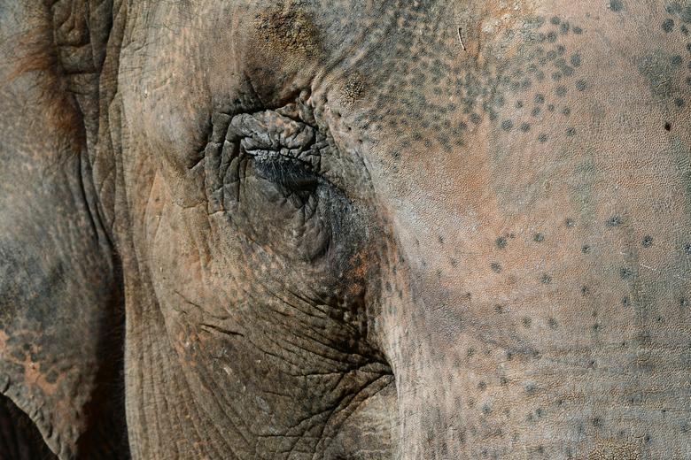 close - De wetenschap onderscheidt 5 ondersoorten van de Aziatische olifant. Één van de ondersoorten is helaas uitgestorven. In dierentuinen zie je ve