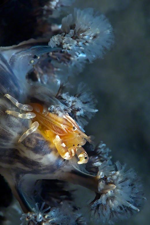 SoftCoral Crab - Krabje (2cm) in zacht koraal.<br /> Foto is gemaakt tijdens een duik in Lembeh,Sulawesi in Indonesie