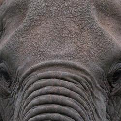 Oog in oog met Afrikaanse Olifant