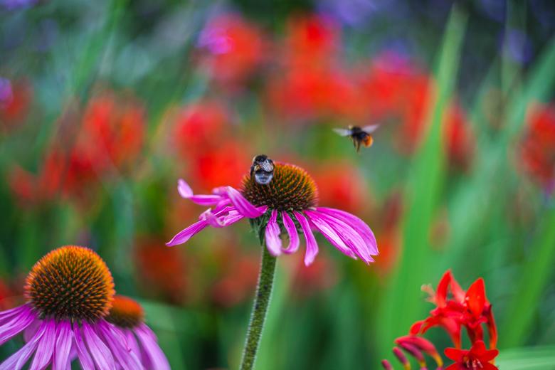 Echinacea purpurea - Helios-44M-4,58mm, f2