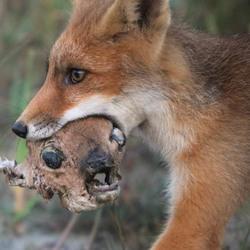 Jonge vos heeft nieuw speeltje