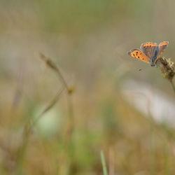 Vurige vlinder