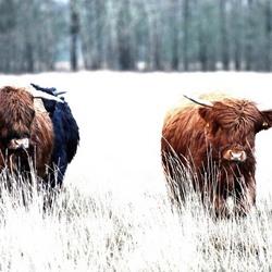 Schotse Hooglanders 1