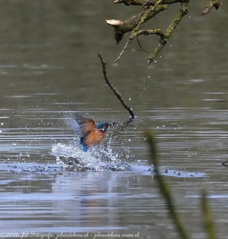 IJsvogel uit het water -