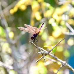 raspberry dragonfly