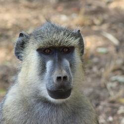 Mombassa monkey