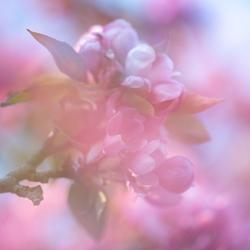 roze lente