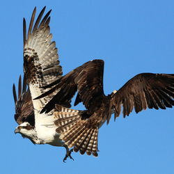 Clash of the Ospreys