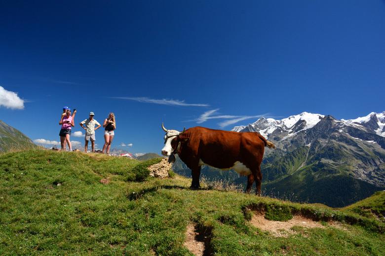 Koe in de Franse Alpen