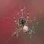 spin eet lieveheersbeestje