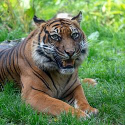 Sumatraanse tijger Blijdorp 2