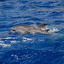 moederenkinddolfijnspotteddolphinmadeira