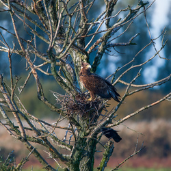 zeearend op een nest