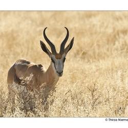 Namibian Springbok