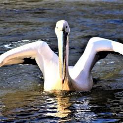 landing pelikaan
