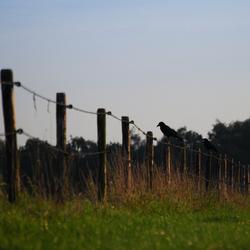 Kraaien op een hek