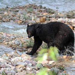 black bear into the river