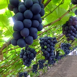 Hollandse druiven