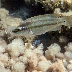 Grijze lipvis (Symphodus cinereus)