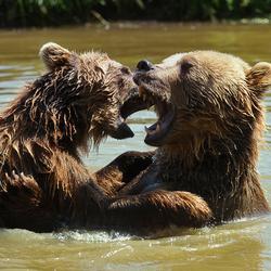 Ik zag twee beren...