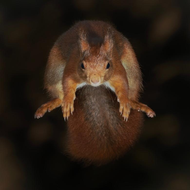 De sprong - Het eekhoorntje maakt zich na de afsprong klaar voor de landing.<br /> <br /> Bedankt voor de leuke en bemoedigende reacties en stemmen