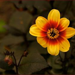 Artis bloem