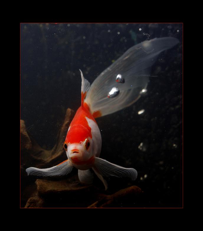 goudvis - Ook deze is spijtig genoeg in gevangenschap gefotografeerd. Maar heb het daar persoonlijk niet moeilijk mee, laat dat duidelijk zijn. Ik ge