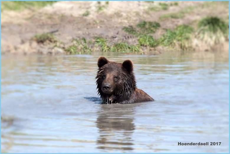 Cooling down bear - Zomer in Hoenderdael.