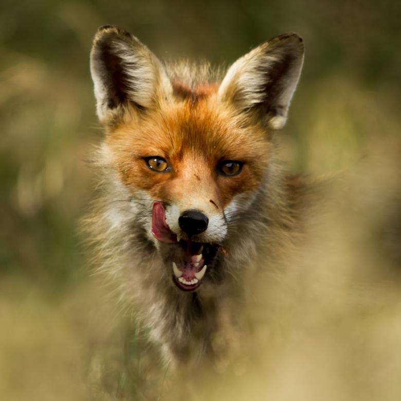 vos - Deze vos zag ik oversteken met een prooi in zijn bek, na geduldig wachten stak hij even zijn kop boven het gras uit